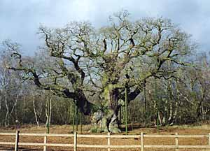 The Major Oak.